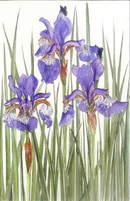 Iris 1, 16.5 x 25.5cms, Lynda Bird Clark