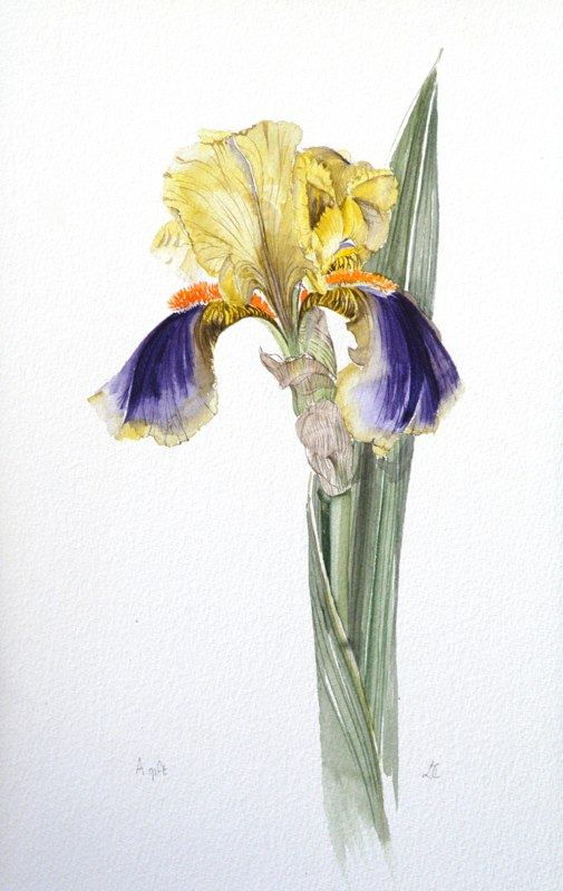 Lesley's Iris 23 x 30.5cms, Lynda Bird Clark