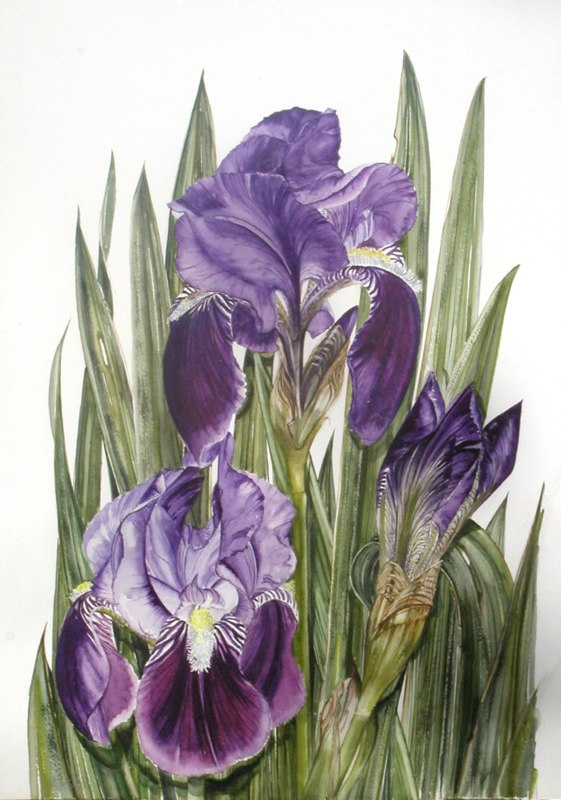 Purple Iris 31 x 47cms, Lynda Bird Clark