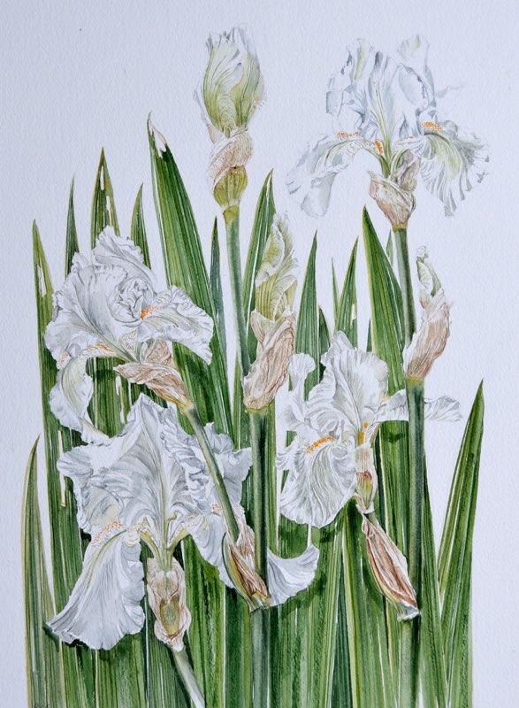 White Iris, Lynda Bird Clark